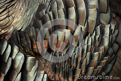 Close up of turkey feather shimmering in light