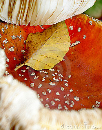 A close-up of two fly mushrooms in the autumn