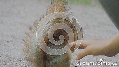 Close-up van een leuke eekhoorn die een noot in park eten De hand van het kind voedt het dier stock footage