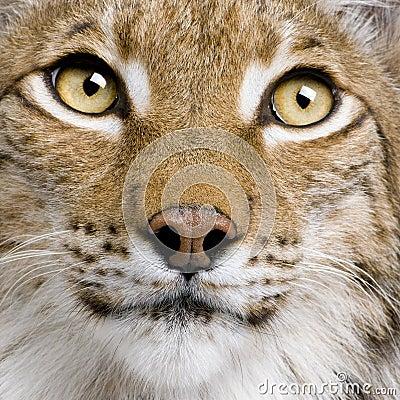 Close-up van Europees-Aziatische Lynx, 5 jaar oud,