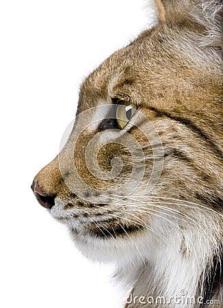 Close-up van het hoofd van een Europees-Aziatische Lynx