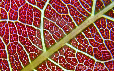 Close up veins on leaf texture