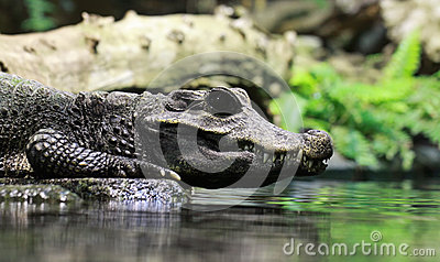 Close-up view crocodile