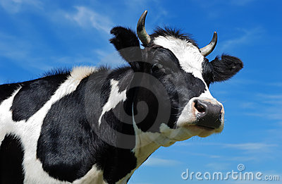Close-up view of horned cow