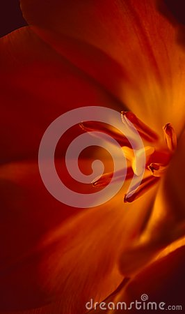 Free Close-up View Of Beautiful Red Tulip Flower Royalty Free Stock Photo - 104683025