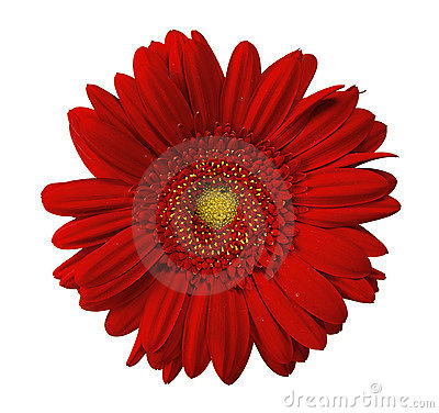 Free Close Up View Of Red Daisy Royalty Free Stock Images - 11710099