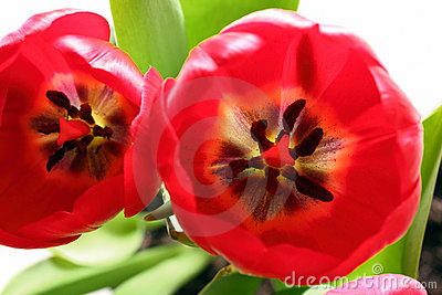 Close-up view on red tulips