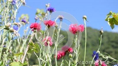 Close-up view to bright colored red and blue cornflowers. stock footage