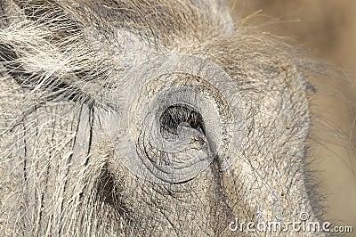 Close up of warthog face