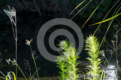 Close up of weeds at river