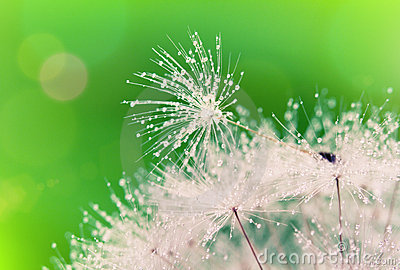 Close-up of wet dandelion