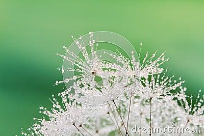 Close-up of wet dandelion
