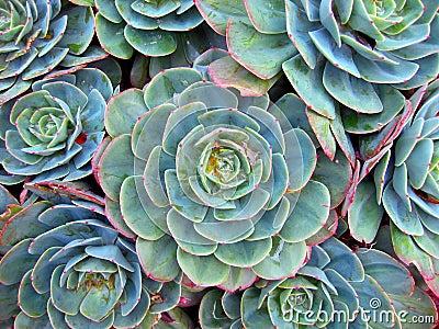 Succulent Details