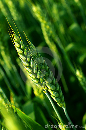 Close up of wheat stem