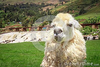 Close up of a white alpacas head