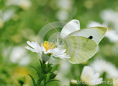 White cabbage butterfly on flower