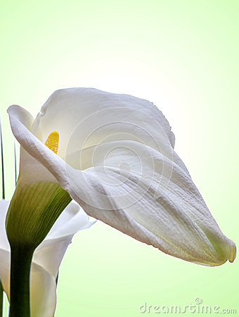 Close-up of White Calla Lilly