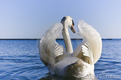 Close up of  white swan spreading  wings