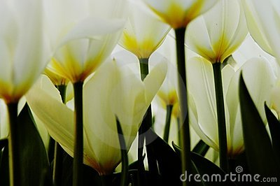 Close-up of white and yellow tulips