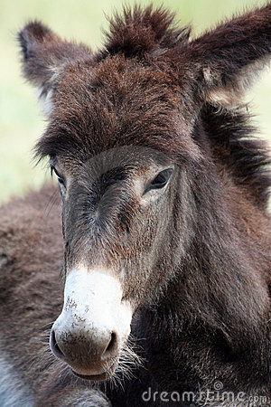 Close Up of a Wild Burro