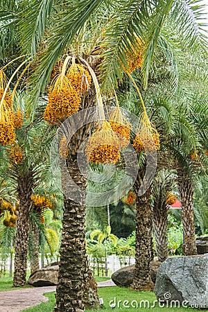 Free Close Up Yellow Betel Nut At Palm Tree Stock Photos - 43703243