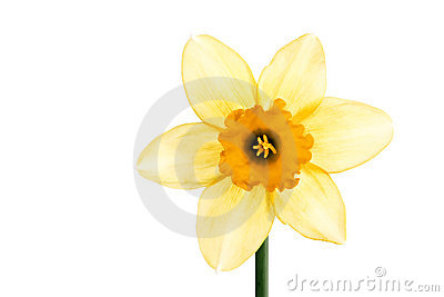 Close-up of yellow daffodil isolated on white
