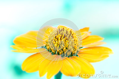 Close up yellow flower with ligh blue background tone