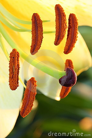 Close up yellow lilium