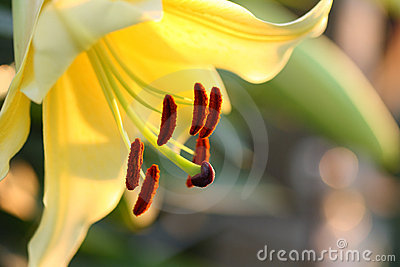 Close up yellow lilium