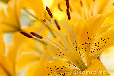 Close Up of the yellow Lilly