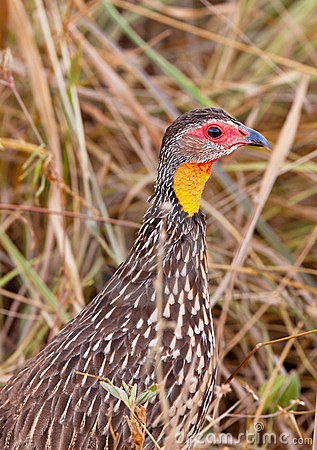 Close-up of the Yellow-necked Spurfowl