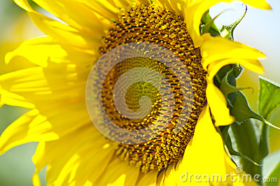 Close up of yellow sunflower