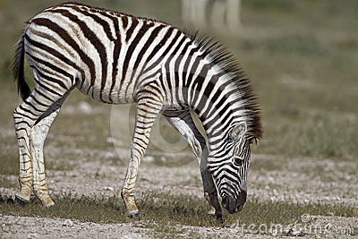 Close-up of a young zebra