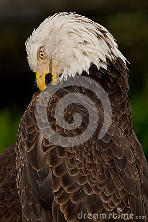 Bald Eagle Preening Itself