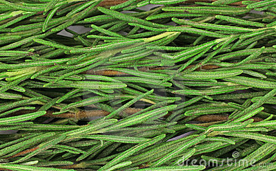 Close View Organic Rosemary