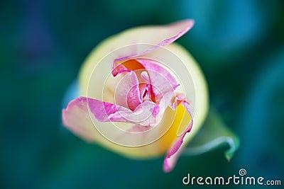 Closed tulip bud