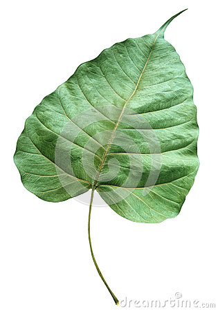 Closer up detail of green dry leaf isolated white