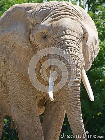 Closeup of African elephant