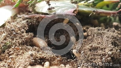 Ants rescue pupae from anthill stock video