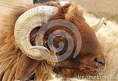 Closeup of awassi sheep