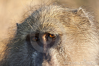 Closeup of baboon staring