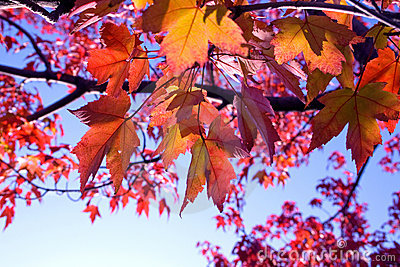 Closeup of back-lit multicolored fall leaves