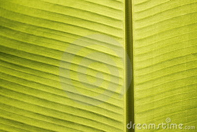 Closeup of banana leaf veins in tropical noon sun