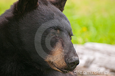 Closeup of bear