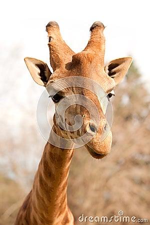 Closeup of a beautiful giraffe