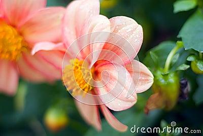Closeup of a beautiful peony flower