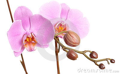 Closeup of a beautiful pink Phalaenopsis orchid