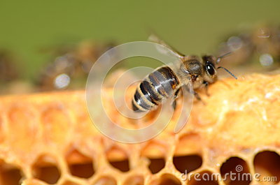 Closeup of a bee on honeycomb