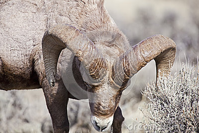 Closeup of Big Horn Sheep Ram