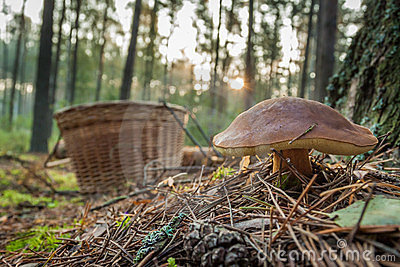 Closeup big mushroom and basket in forest